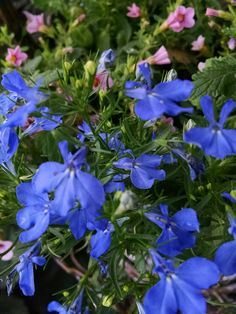 Blue Lobelia with pink Superbells