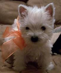 westie puppy, this is the next puppy I would like. Levi may not be too happy tho!