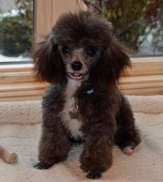 Elliott the Toy Poodle
