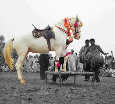 Virsa Punjab Da (White Mare Dancing) # Rangla PUNJAB India