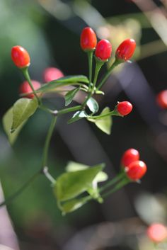 Official State Native Pepper of Texas: Chiltepin. Designated by HCR 82, 75th R.S. (1997) authored by Rep. Bill G. Carter and sponsored by Sen. Mike Moncrief. [Image by flickr user helios jinn] Read the resolution at: http://www.lrl.state.tx.us/scanned/sessionLaws/75-0/HCR_82.pdf