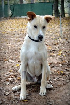 02/14/14 Georgie  Labrador Retriever Mix • Young • Male • Large  Abandoned Animal Rescue Tomball, TX