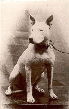 English Bull Terrier, 1900