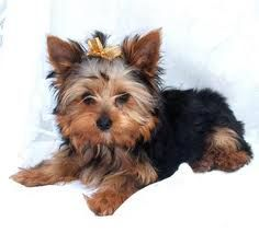 I love yorkies. I have a little girl yorkie named Pixel : ) Yorkie Names, Yorkie Puppy, Baby Yorkie, Dog Love, Puppy Love, Yorkshire Terrier Dog, Cute Creatures, Cute Dogs, Adorable Puppies