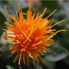 Safflower Saffron Carthamus Tinctorius Yellow Orange Flower Seeds 20 Seeds by Flowerseeds, $2.99 USD