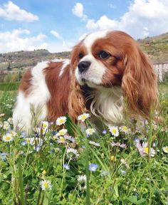 Are you looking for the best Cavalier King Charles Spaniel dog names? Are you looking for the best Cavalier King Charles Spaniel dog names? Spaniel Breeds, Spaniel Puppies, Dog Breeds, Cocker Spaniel, King Charles Puppy, Cavalier King Charles Dog, King Charles Spaniels, Sweet Dogs, Cute Dogs