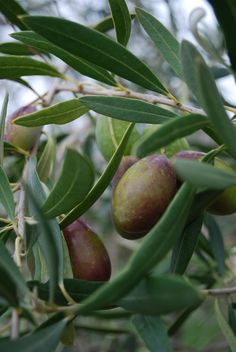 Growing olive trees is relatively simple given the proper location and olive tree care is not too demanding either...