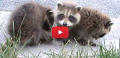 These Orphaned Raccoons Were Hungry And Scared! All These Sweet Babies Needed Was A Little Love!