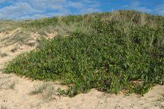 Acacia sophorae (Coastal Wattle)