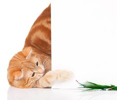 Indoor cats can get bored and lazy if you're not careful. These tips will ensure your kitty stays fit and happy, both physically and mentally. Chico California, Pet Toys, Your Pet, Indoor Cats, Kitty, Entertaining, Apartment Living, Pets, Apartments