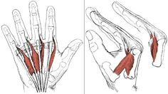 A wonderful article on The Intrinsic Muscles of the Hand: Thenar, Hypothenar, Interossei and Lumbricals Muscles.   IMAGE: lumbricals (lumbricales)