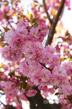 """Dreamy Pink Blossoms"" by Carol Groenen  #pinkblossoms #cherryblossomsart #blossoms #spring #springpink   http://carol-groenen.pixels.com"