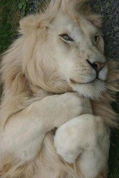 chats sauvages, lion blanc tout paisible