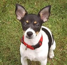 Rat Terrier  this looks like my buck whose 17 years old now