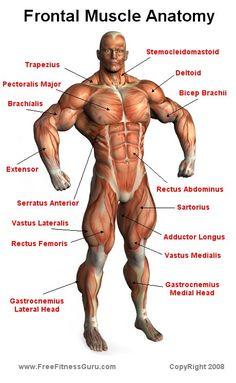 FreeFitnessGuru - Frontal Muscle Anatomy