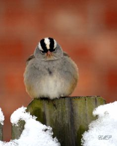 White-crowned Sparrow The real life 'Angry Bird'