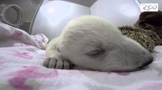 The video above shows a five-week-old little polar bear baby dreaming. I would throw myself on a bomb if it meant saving her.