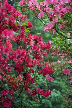 Maroon Azaleas | Gardenerspath.com