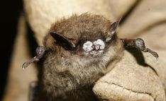A little brown bat suffers from white-nose syndrome. Photo courtesy Ryan von Linden/New York Department of Environmental Conservation Bat Species, Endangered Species, Oregon Caves, Infection Fongique, Sad Day, Little Brown, Bad News, Fungi, Mammals