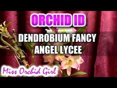 Dendrobium Fancy Angel Lycee Orchid - Delicious fragrance and pure flowers - YouTube