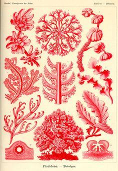 Florideae by Ernst Haeckel;  Kunstformen der Natur, 1900