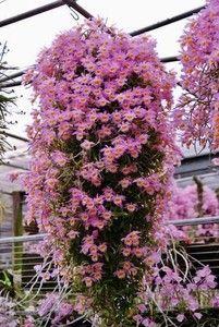 Orquídea Dendrobium loddigesii Rolfe