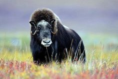 The muskox (Ovibos moschatus, musk ox) is an Arctic mammal of the family Bovidae, noted for its thick coat and for the strong odor emitted by males, from which its name derives. This musky odor is used to attract females during mating season. Muskoxen primarily live in the Canadian Arctic and Greenland,with small introduced populations in Sweden, Siberia, Norway, and Alaska.