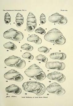 The land Mollusca of Lord Howe Island - BioStor
