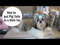 How to put Pigtails in your Dog - YouTube