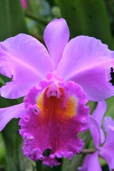 I had one of these & it smelled divine! I had one of these & it smelled divine! Orchid Plants, Exotic Plants, Exotic Flowers, Amazing Flowers, Purple Flowers, Colorful Flowers, Orchids, Beautiful Flowers, Orquideas Cymbidium