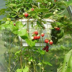 """Sorte Die Klettererdbeere """"Temptation"""" führt uns mit ihren süßen Beeren die ganze Saison in Versuchung. Die dunkelroten Früchte sind recht groß und aromatisch, die starkwüchsige """"Temptation"""" verbreitet sich dabei auch schnell. Ob einfach pur genossen, in Desserts mit Joghurt, kreativen Salaten oder einfach als Marmelade, Erdbeeren sind in jeglicher Form ein Hochgenuss und für viele das Highlight des Gartenjahres. Das beliebte Rosengewächs lässt sich schon auf kleinstem Raum anbauen und… Vegetables, Desserts, Plants, Crop Rotation, Mulches, Nth Root, Harvest, Marmalade, Strawberries"""