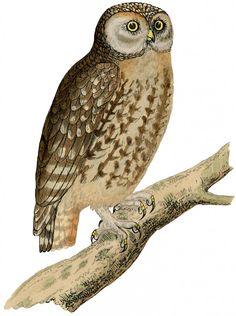 Vintage Owl Image.  Wallpaper idea (spoonflower)