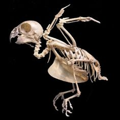 #skeleton #bird