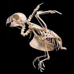 #skeleton #bird