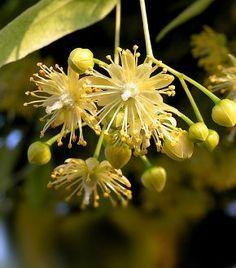 A legerősebb karcsúsító, méregtelenítő gyógynövények   femina.hu
