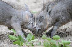Baby Wart Hogs