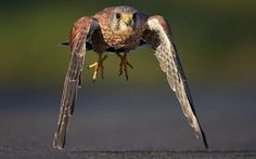A kestrel swoops just millimetres from the ground as he hunts for food on a British road.  The common kestrel looks like he is about to land - but he flies on, his wing-tips almost brushing the earth