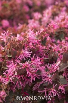 Monrovia's Sizzling Pink Fringe Flower details and information. Learn more about Monrovia plants and best practices for best possible plant performance.