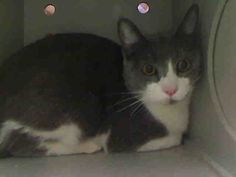 ID#A445360  I am described as a female, gray and white Domestic Shorthair mix.  The shelter thinks I am about 1 year.  I have been at the shelter since Jan 29, 2015 and I may be available for adoption on Feb 05, 2015 at 3:25PM. If you are interested in me, please visit me before this date.  If you think I am your missing pet, please call or visit right away. Otherwise, please visit me in person as shelter staff are busy caring for my needs