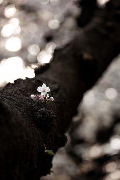 ˚New Cherry Blossom in Shinjuku Imperial Garden, Tokyo, Japan, by Mirai Chibitomu, March Shinjuku Tokyo, Tokyo Japan, Lilac Room, Hidden Beauty, Dark Wallpaper, Natural Phenomena, March 2013, Photo Black, Black Heart