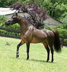 Tiz A Miniature Horse