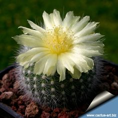 Notocactus Rubibuenekeri (Parodia scopa ssp. rudibuenekeri) - just added this guy to our little container garden.