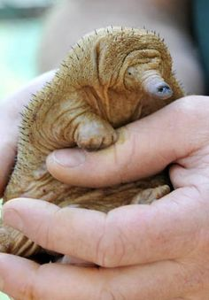 A baby Echidna!