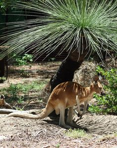 Red Kangaroo (Macropus rufus) Shading Under Grass Tree (Xanthorrhoea macronema) by Moon Fish, via Flickr