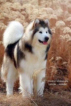The Alaskan Malamute in the sun (it looks like it's mixed with Samoyed)