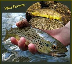 Virginia Fly Fishing, Fishing in Virgina, Trout, Trout Streams.