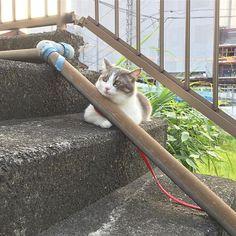 🐱 お久しぶりですぅぅ🌟 最近のわさびさまは…お散歩にやる気がない!笑 お外に行きたがるくせに変なとこで落ち着く🙌笑 人間も暑くてぐでーんとなるのでみなさん夏バテに気を付けてくださいねっ😽✨ 山葵のお散歩をYouTubeにアップしてるからよかったらホームからみてくださーい(゚∀゚) .  #cat#ilovecat#meow#happy#love#lovecat#mycat#catstagram#lfl#youtube#youtuber #愛猫#山葵#散歩#庭#夕方#ゴープロのある生活#夏毛#もふもふ#サバシロ#ふわもこ部#ねこ#ねこ部#猫のいる生活#やる気にゃい