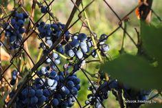 az+Othello+szőlő+nagy+kedvencem,+de+ezt+már+ecseteltem+az+őszi+vegyesnél,+úgyhogy+azonnal+szedtem+egy+pár+fürtöt+még+amikor+megláttam+ezt+a+hamis+balzsamecet+receptet+Kamrapolcnál.     Hozzávalók: othello+szőlő+(vagy+bármi+más+kis+fekete+szemű+megteszi) vörösborecet jófajta…