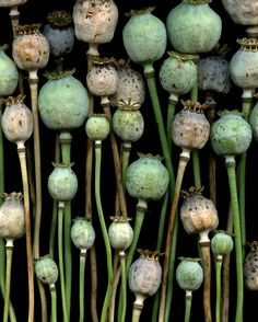 Papaver somniferum Poppy pods make interesting texture Patterns In Nature, Textures Patterns, Seed Pods, Shades Of Green, Mother Nature, Planting Flowers, Flower Gardening, Beautiful Flowers, Bloom