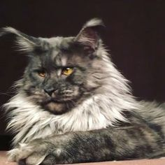 Stock Photo Pets Long haired cats, Long hair cat